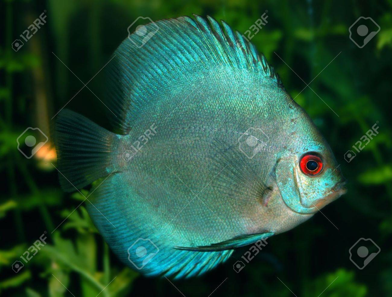 Freshwater fish amazon - Freshwater Cichlid Fishes Native To The Amazon River Basin