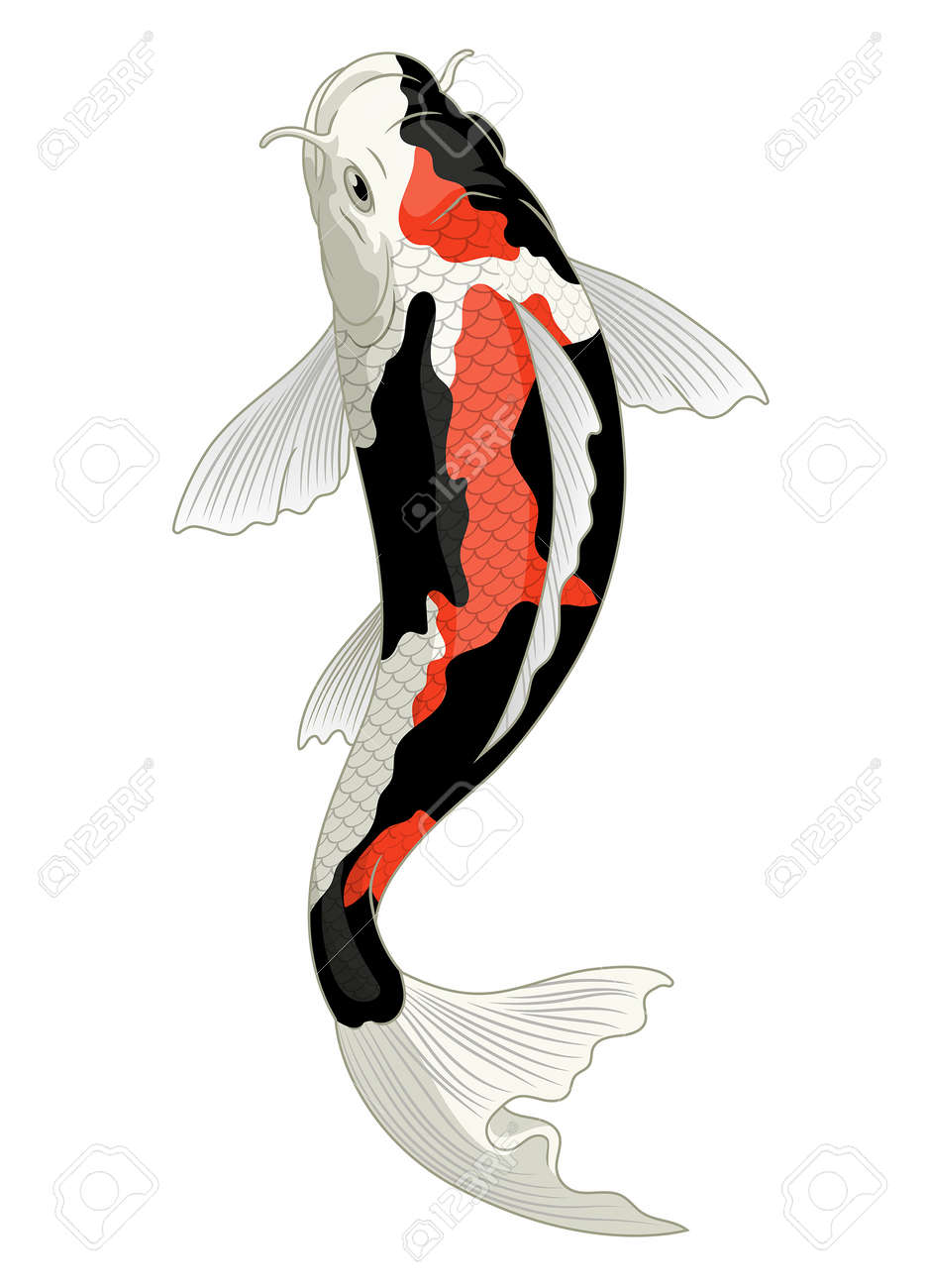 japan koi fish in showa coloration pattern - 163541084