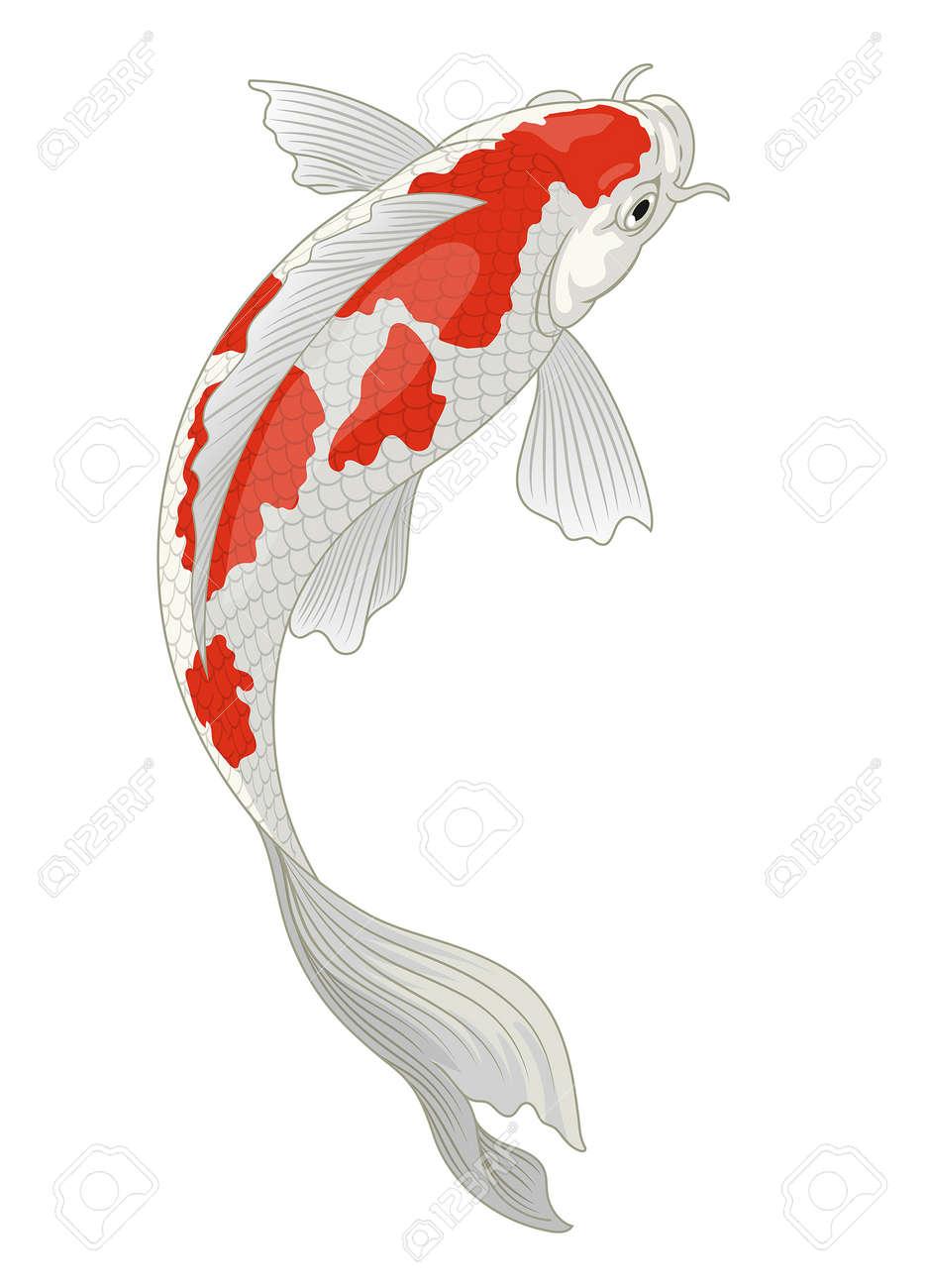 koi fish japan in red and white kohaku pattern - 163540149
