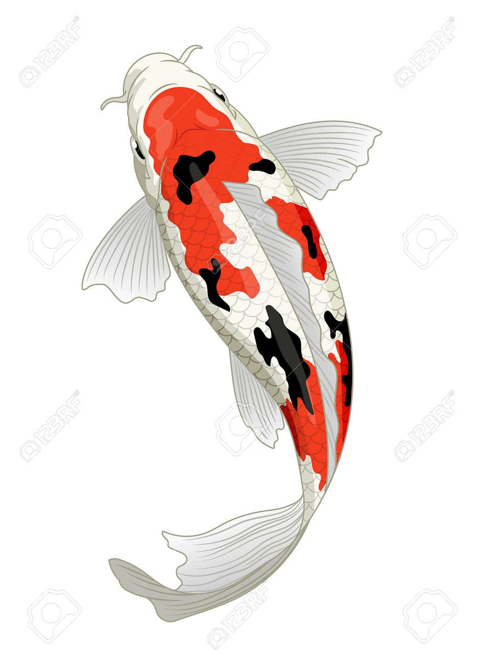 japan koi fish in sanke coloration - 163542992