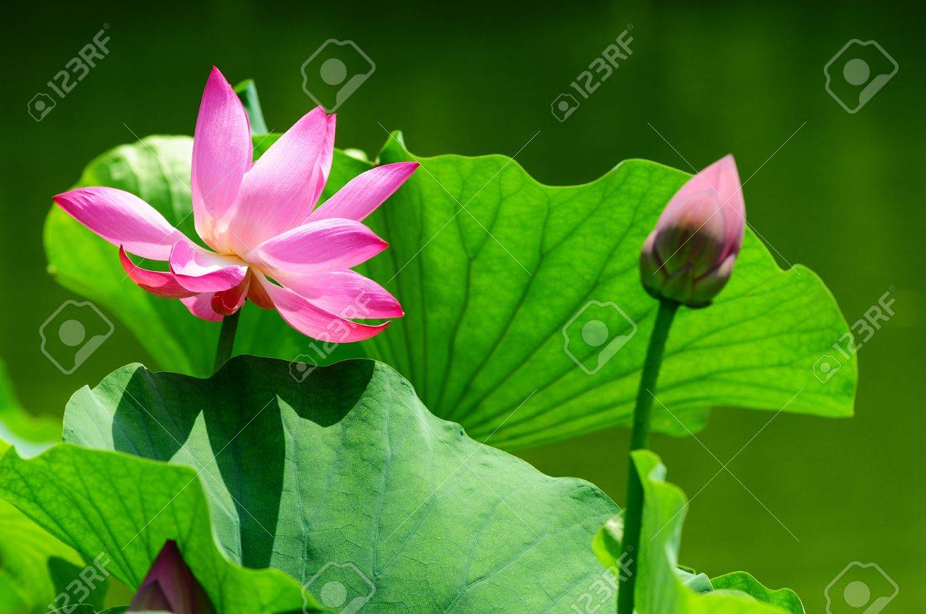 Pink lotus flower blooming in pond with a bud in the summer stock pink lotus flower blooming in pond with a bud in the summer stock photo 14383692 izmirmasajfo