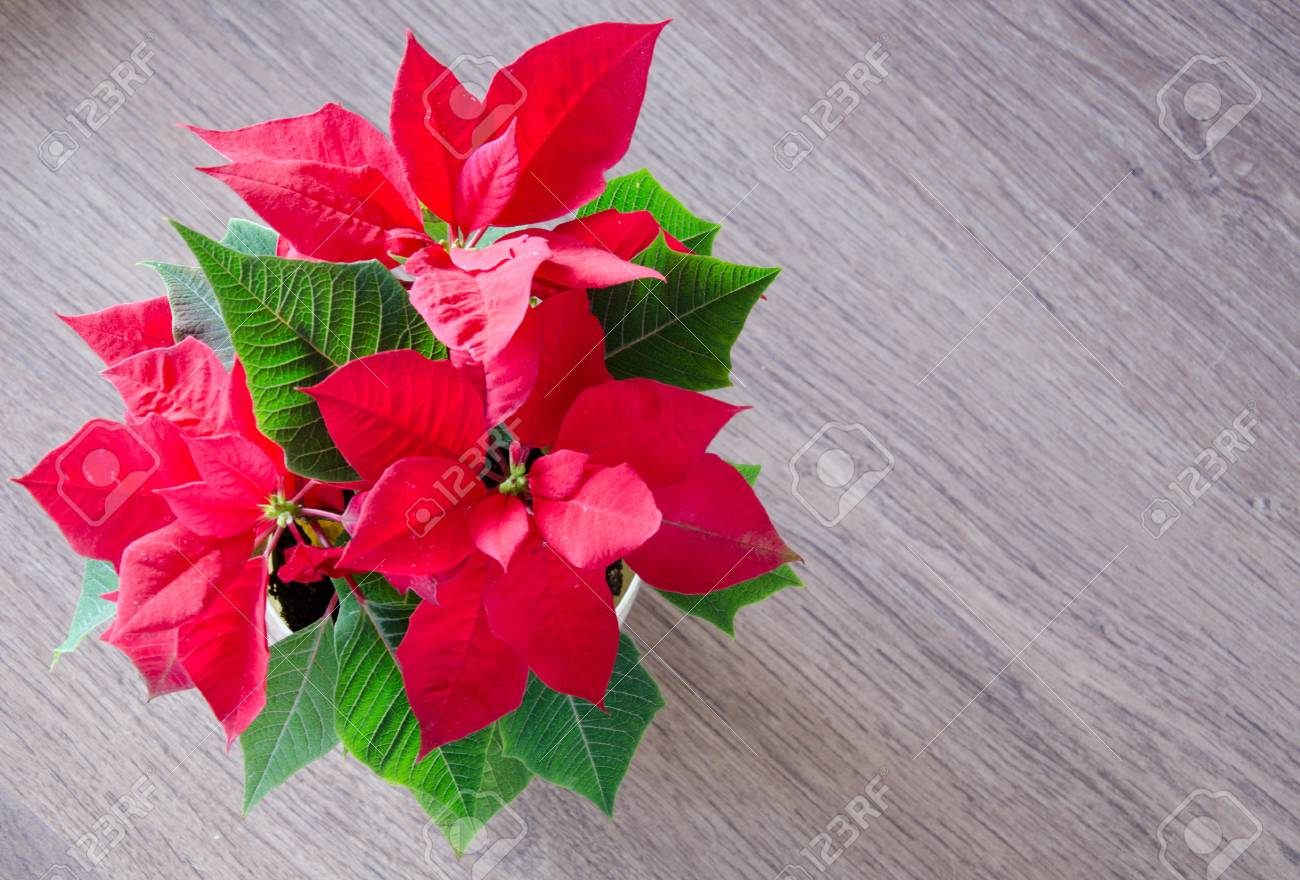 Red Christmas Flower Poinsettia Stock Photo Picture And Royalty