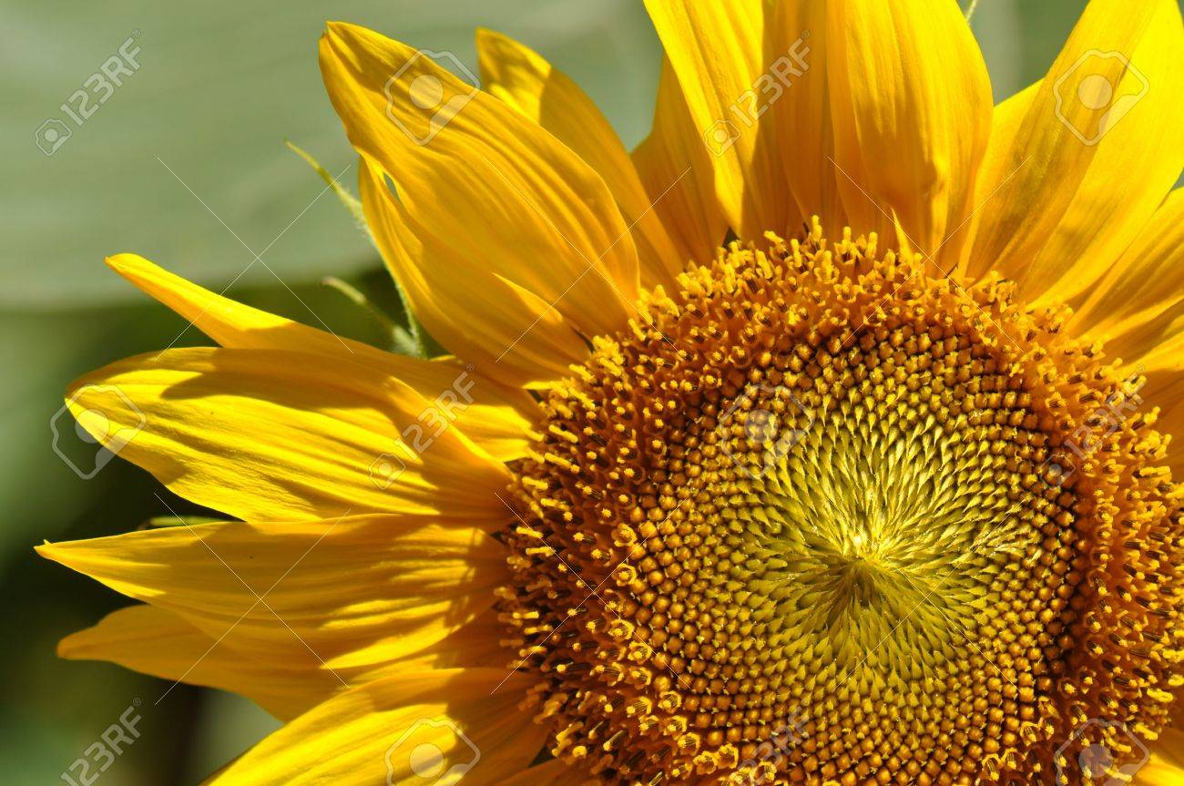Sunflower Close Up with Vibrant Colors Stock Photo - 7623287