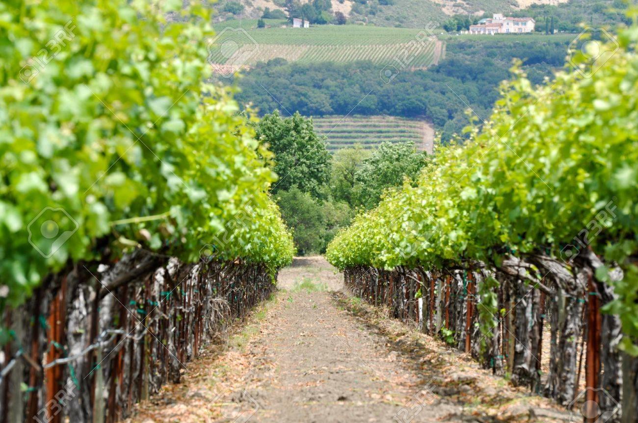 Vineyard in Spring Stock Photo - 9682597