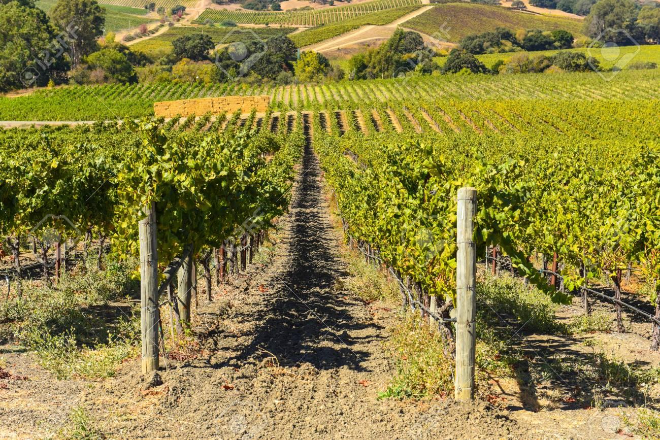 Napa Valley Vineyard - 63468204