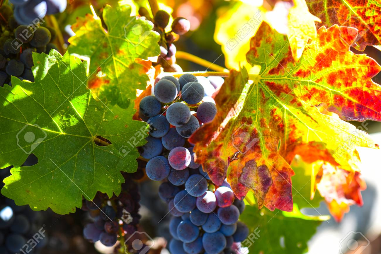 Grapes on the Vine in the Autumn Season - 63468203