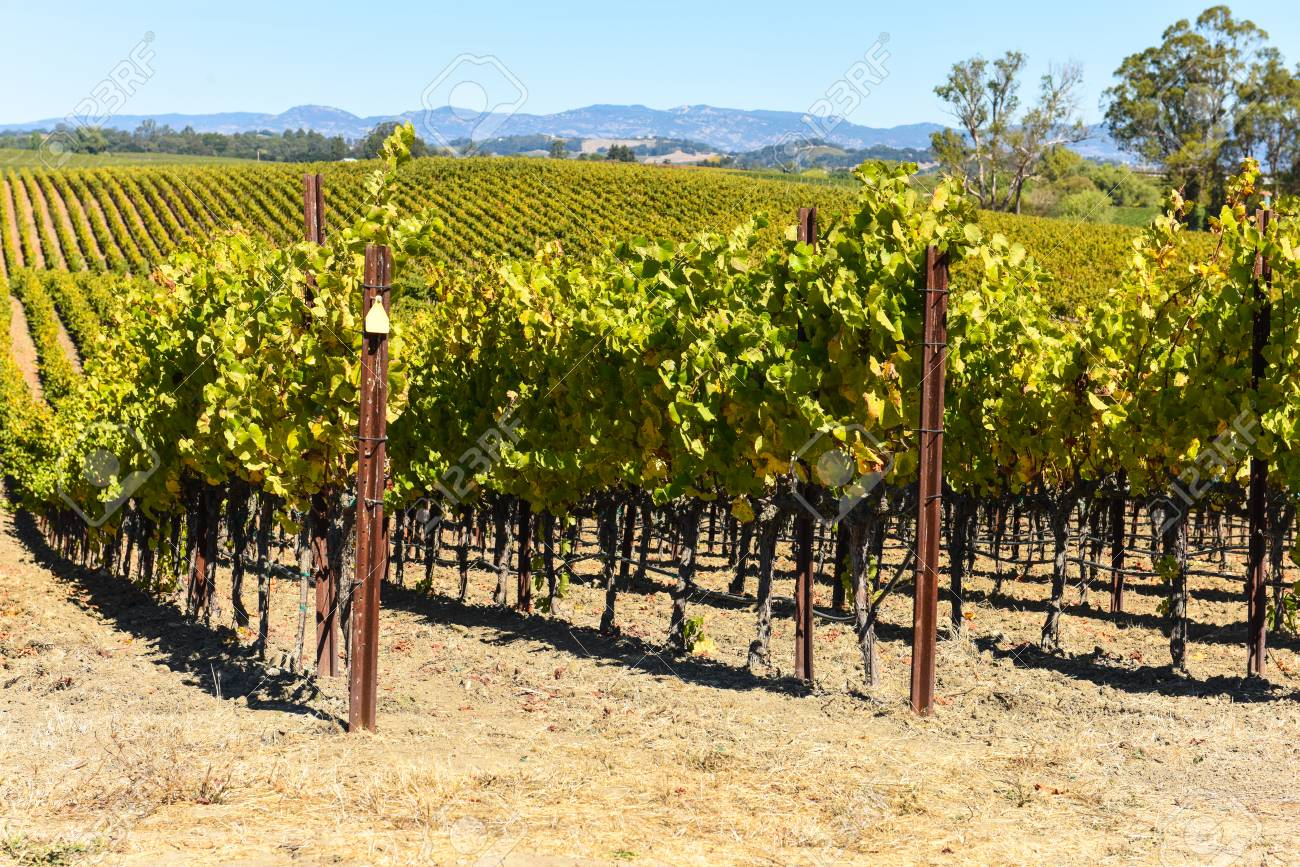Vineyard in Napa Valley California - 63468212