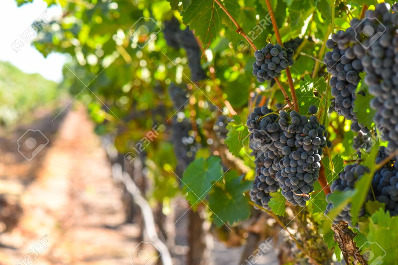 Red Wine Grapes on the Vine - 63468214