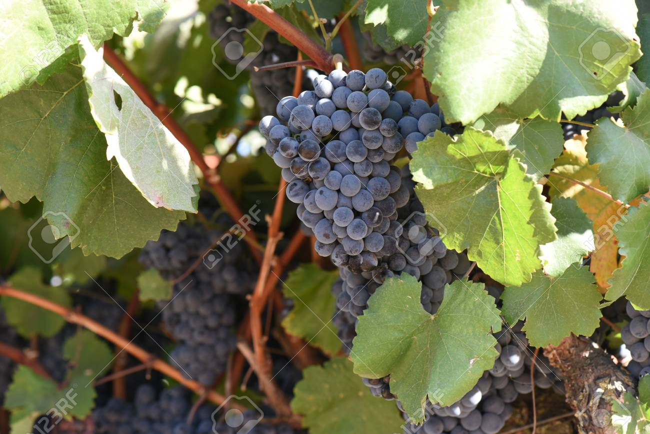 Red Wine Grapes on the Vine - 63468238
