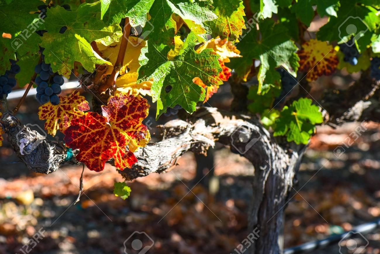 Grapevine in the Autumn Season - 63468244