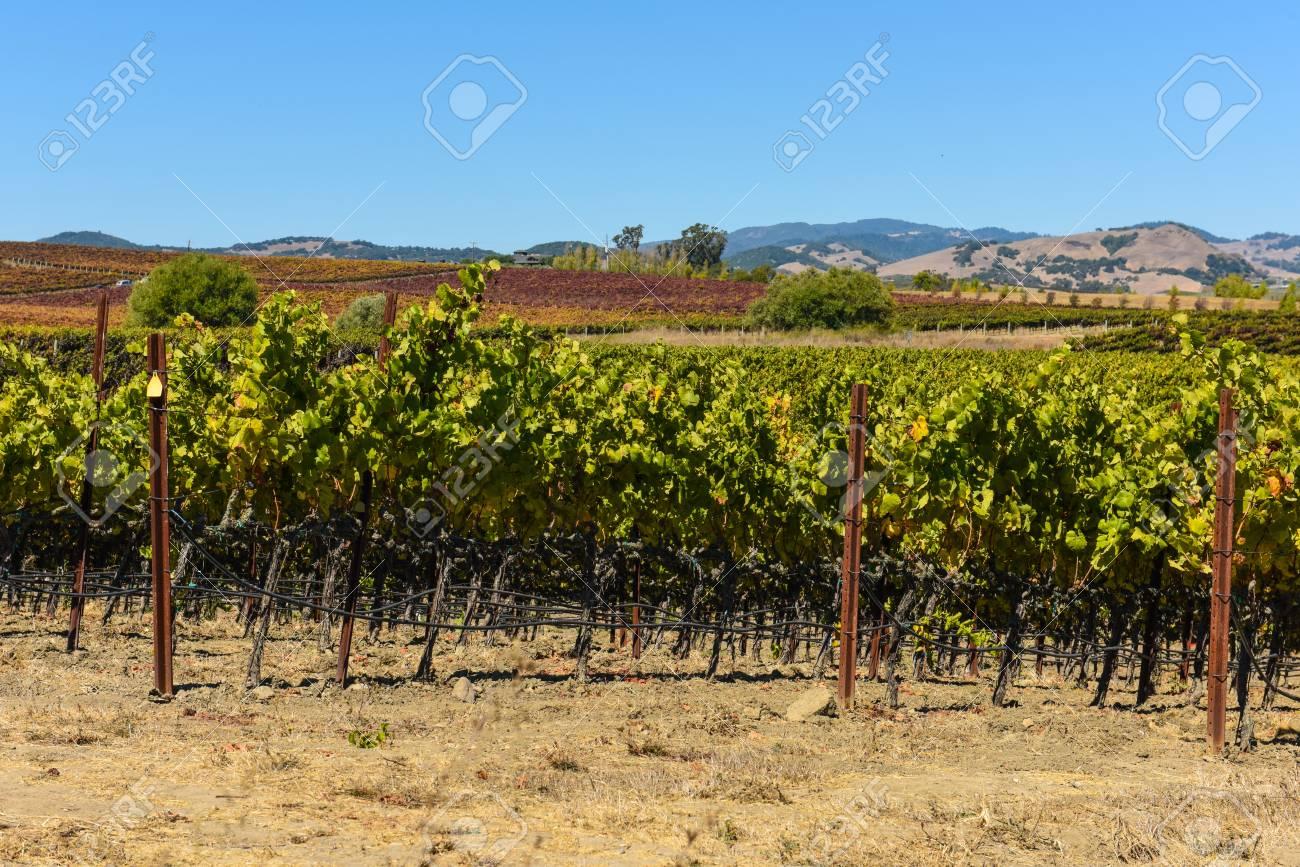 Vineyard in Napa Valley California - 63468256