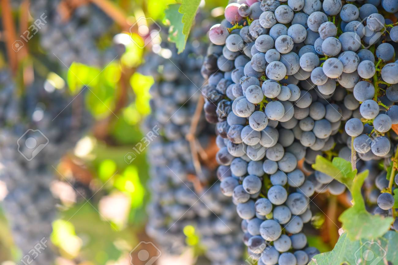Red Wine Grapes on the Vine - 63468258