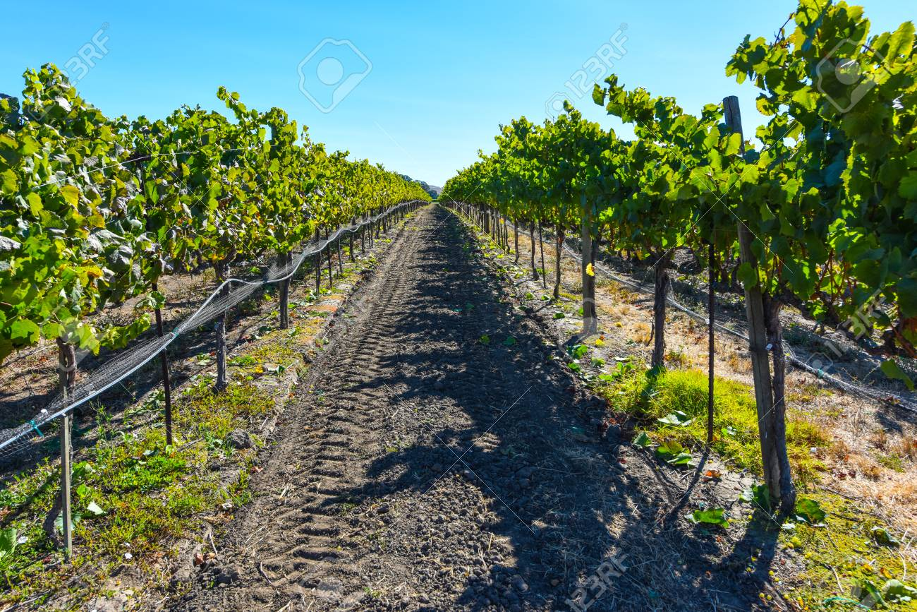 Napa Valley Vineyard - 63468265
