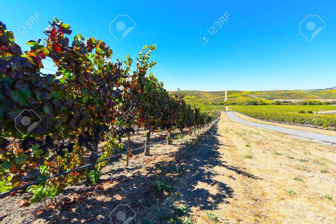 Vineyard in Napa Valley California - 63468282