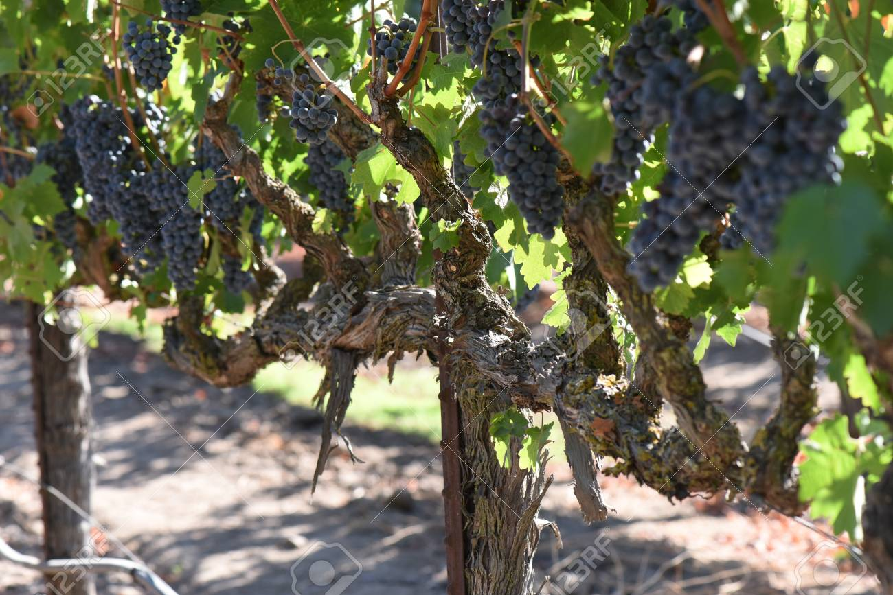 Red Wine Grapes on the Vine - 63468279