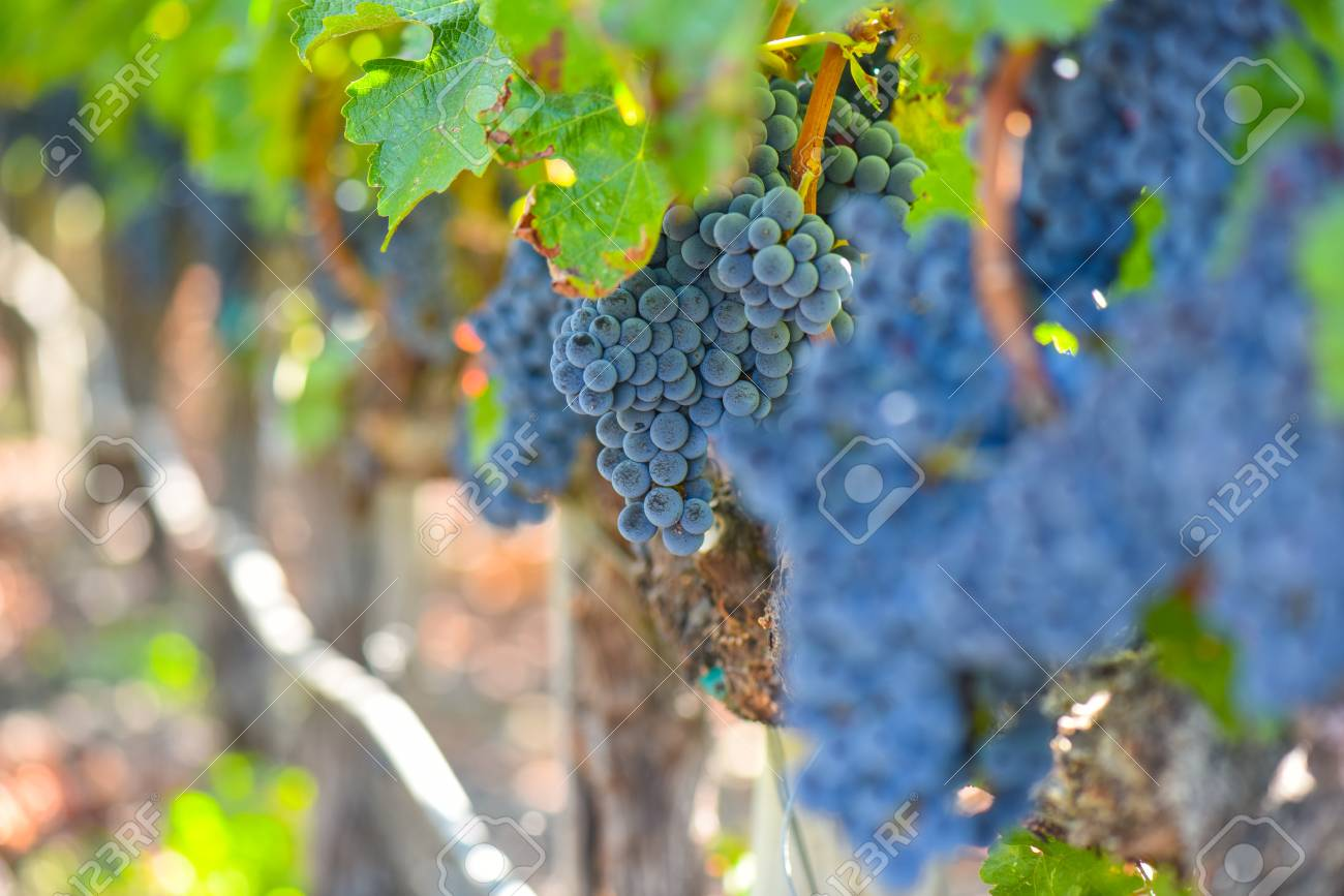 Grapes on the Vine in the Autumn Season - 63468285