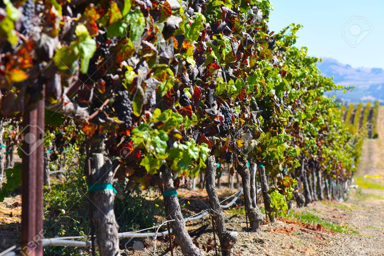 Vineyard in Napa Valley California - 63468287