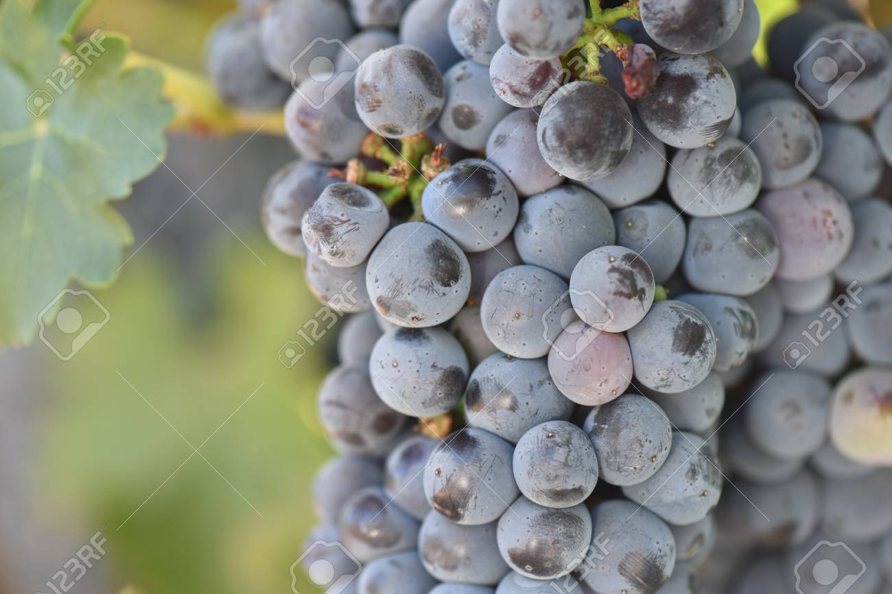 Red Wine Grapes on the Vine - 63468294