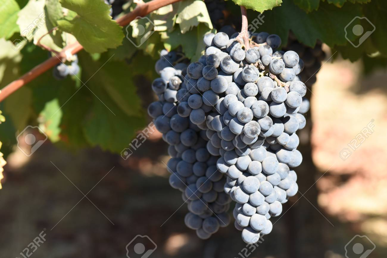 Red Wine Grapes on the Vine - 63468301