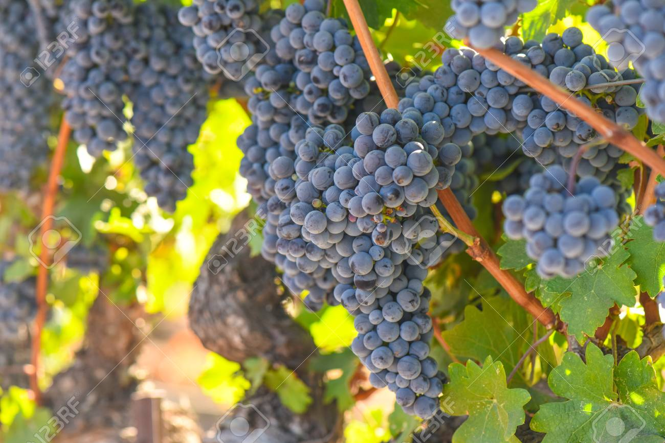 Red Wine Grapes on the Vine - 63468310