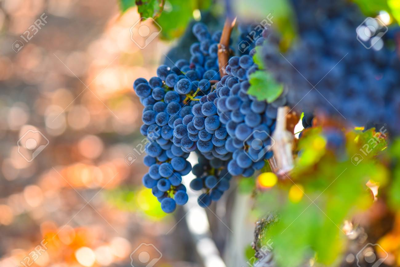 Grapes on the Vine in the Autumn Season - 63468308