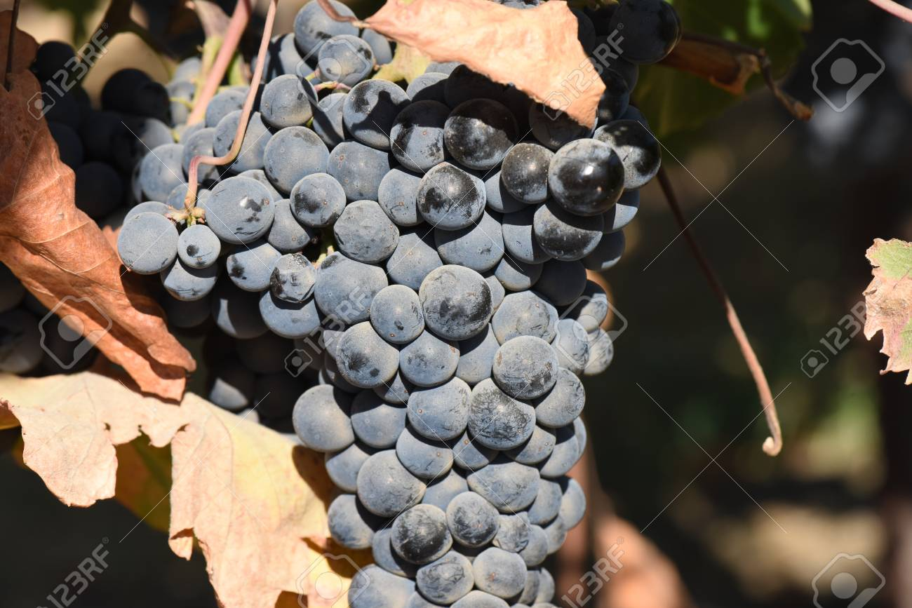 Red Wine Grapes on the Vine - 63468313