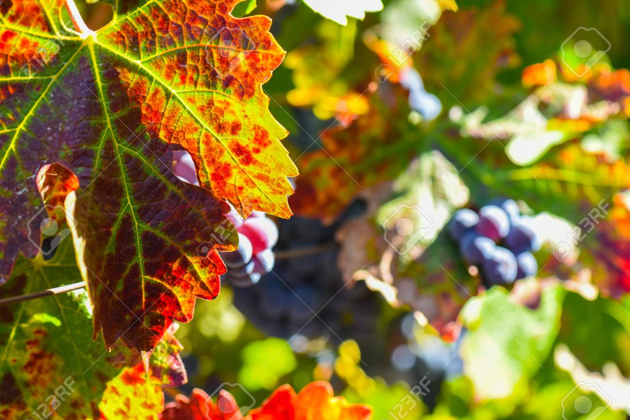 Grapes on the Vine in the Autumn Season - 63468318