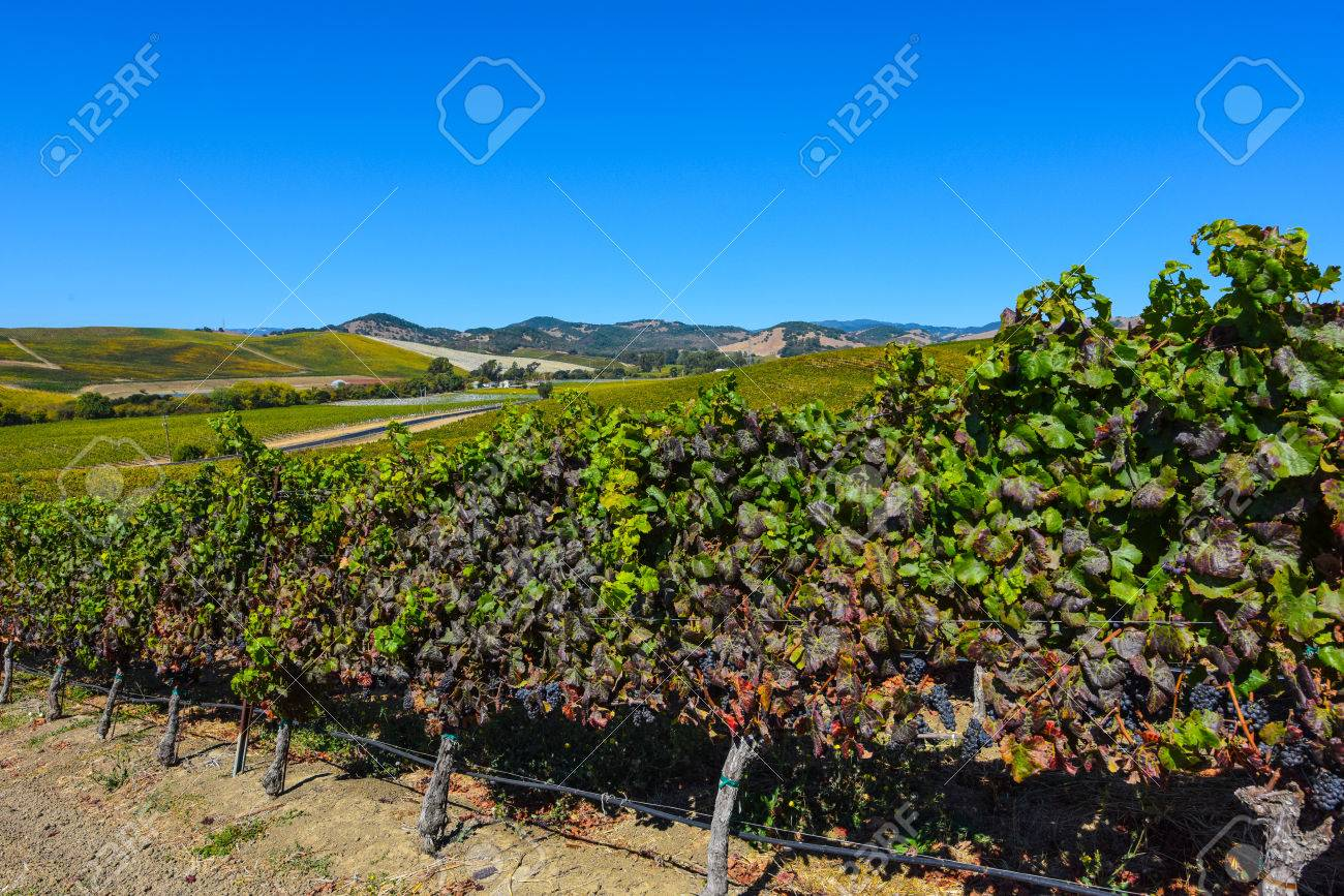 Vineyard in Napa Valley California - 63468323
