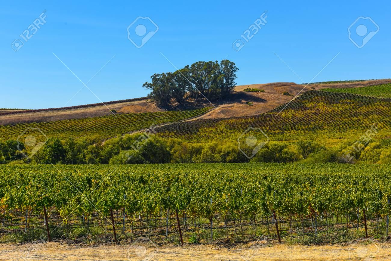 Vineyard in Napa Valley California - 63468327