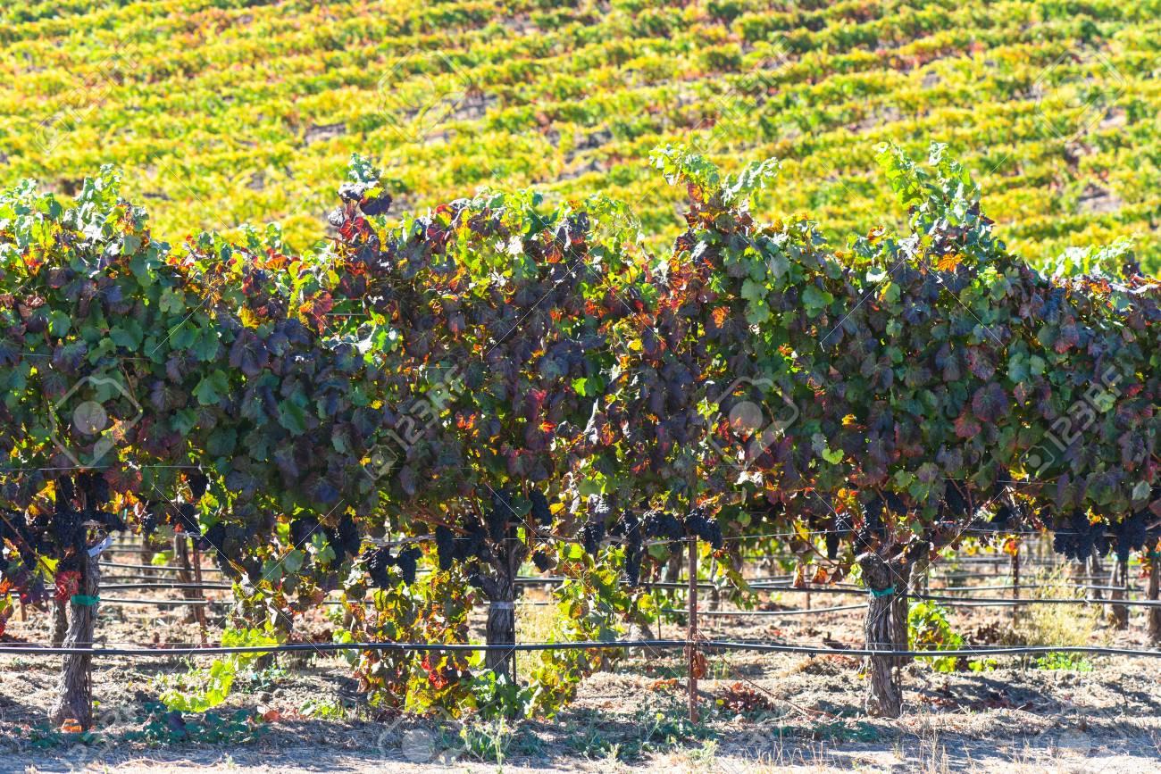 Vineyard in Napa Valley California - 63468333