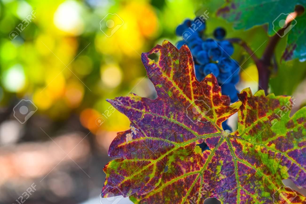 Grapevine in the Autumn Season - 63468354