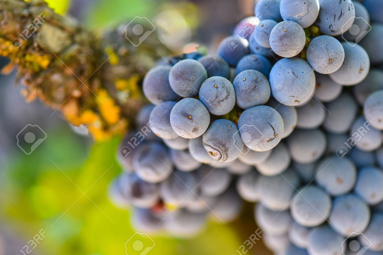 Red Wine Grapes on the Vine - 63468358