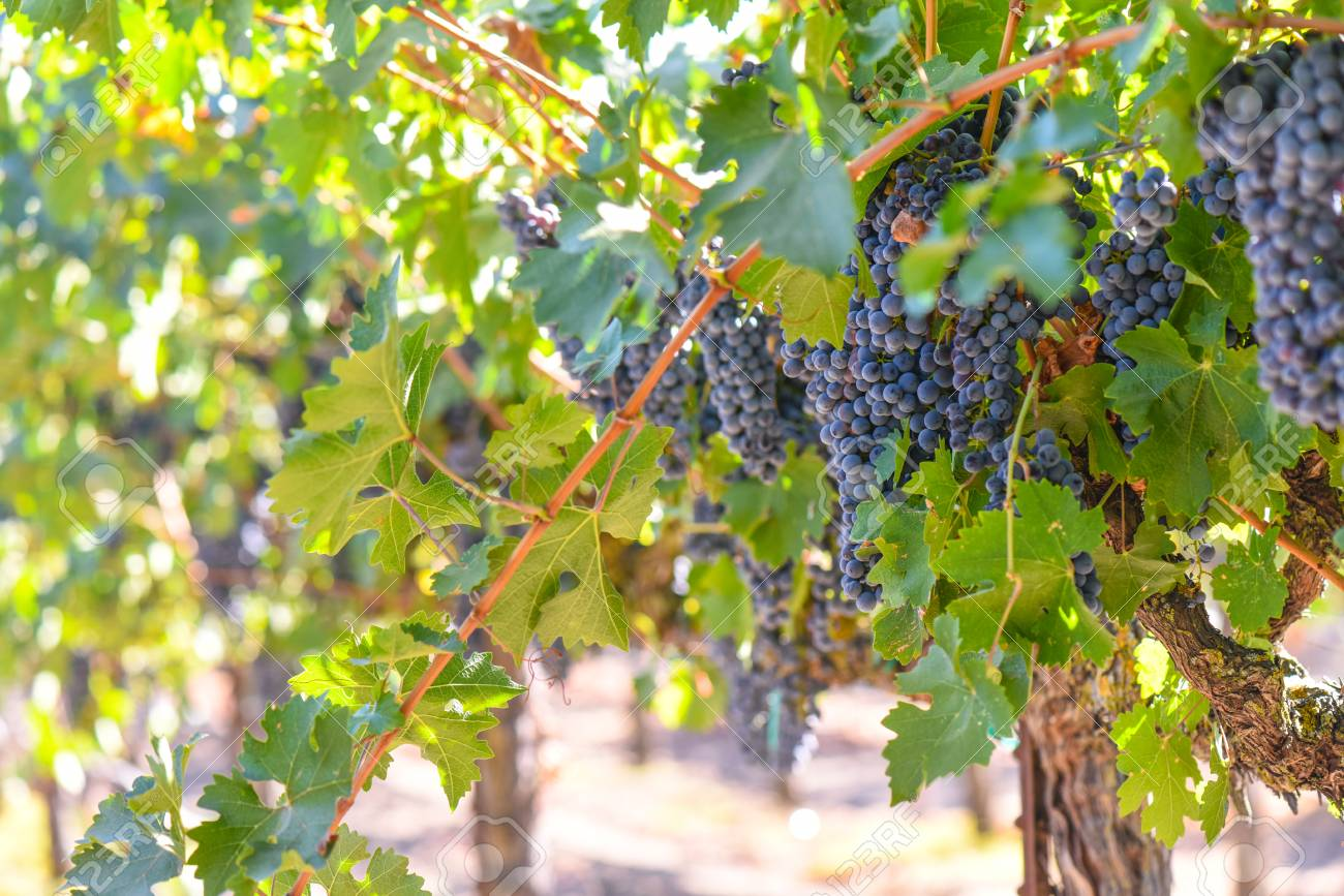 Red Wine Grapes on the Vine - 63468357