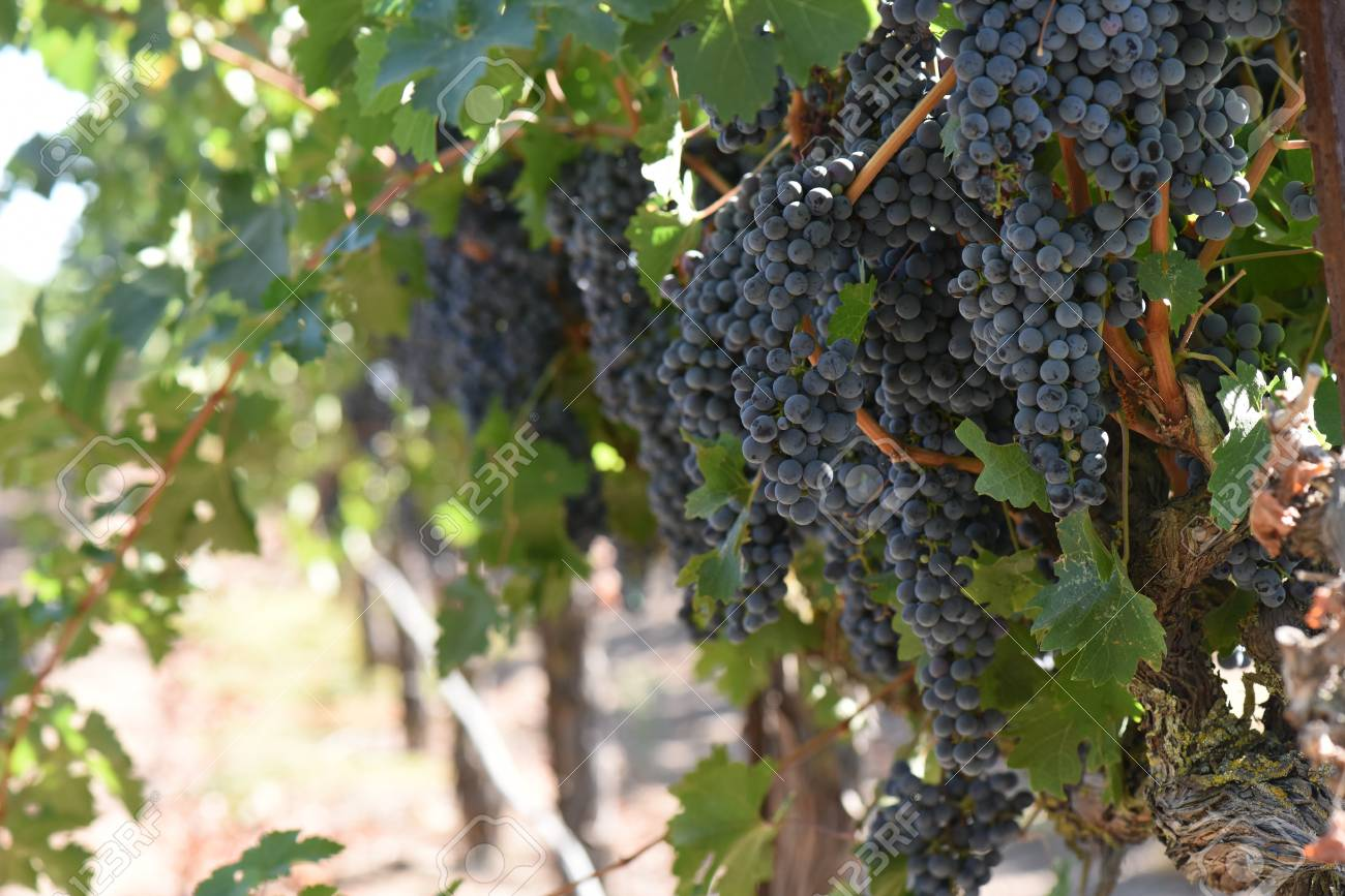 Red Wine Grapes on the Vine - 63468365