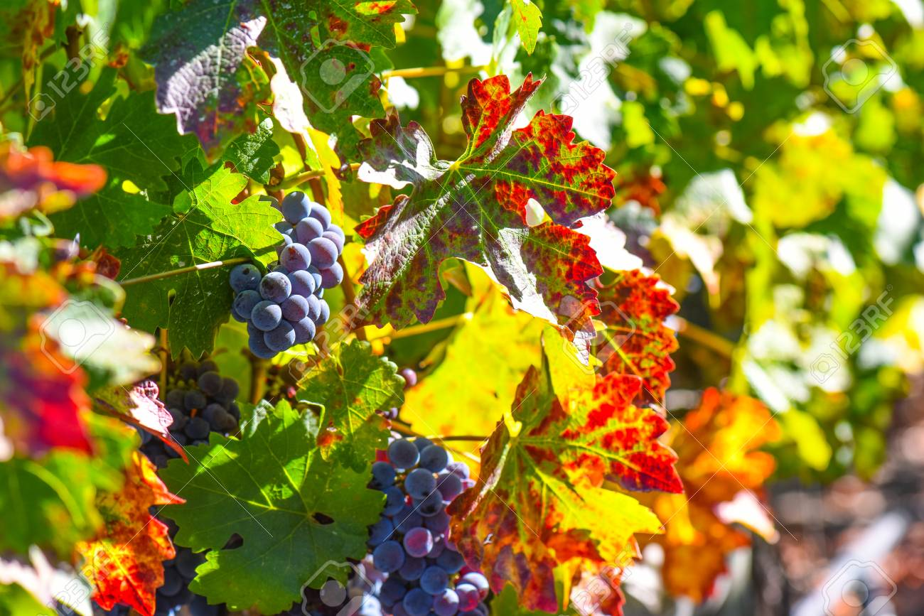Grapes on the Vine in the Autumn Season - 63468377