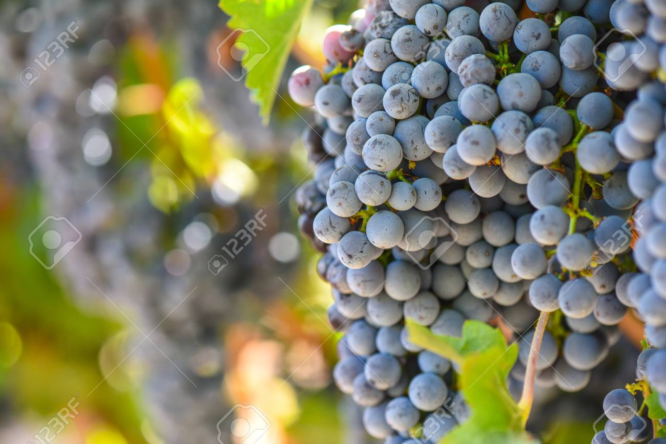 Red Wine Grapes on the Vine - 63468379