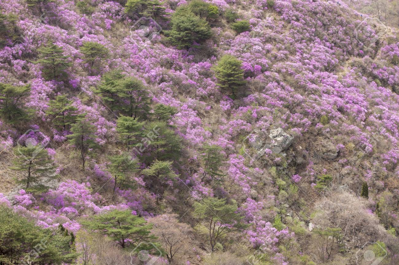 Goryeosan Of Spring Flowers Rhododendron South Korea Stock Photo