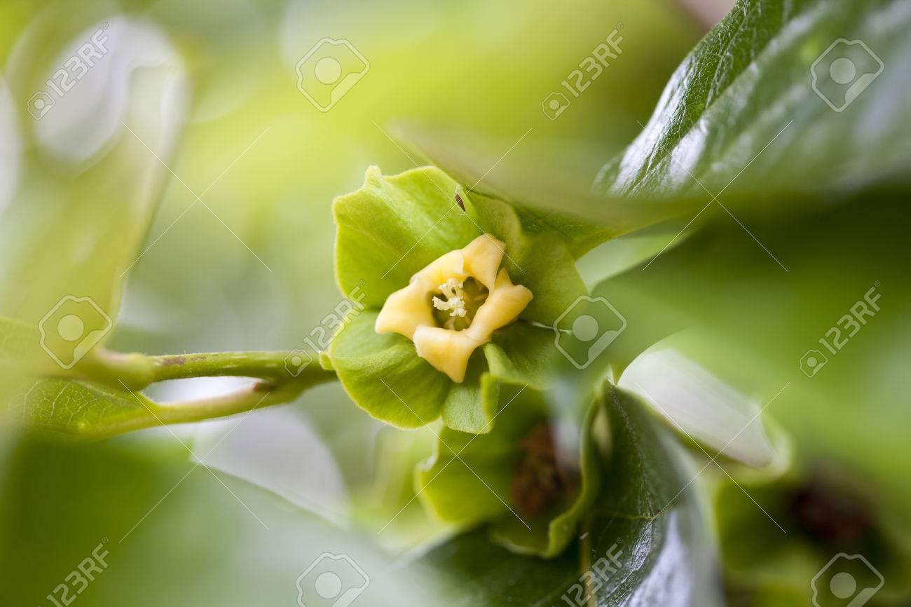 Diospyros Kaki Flower