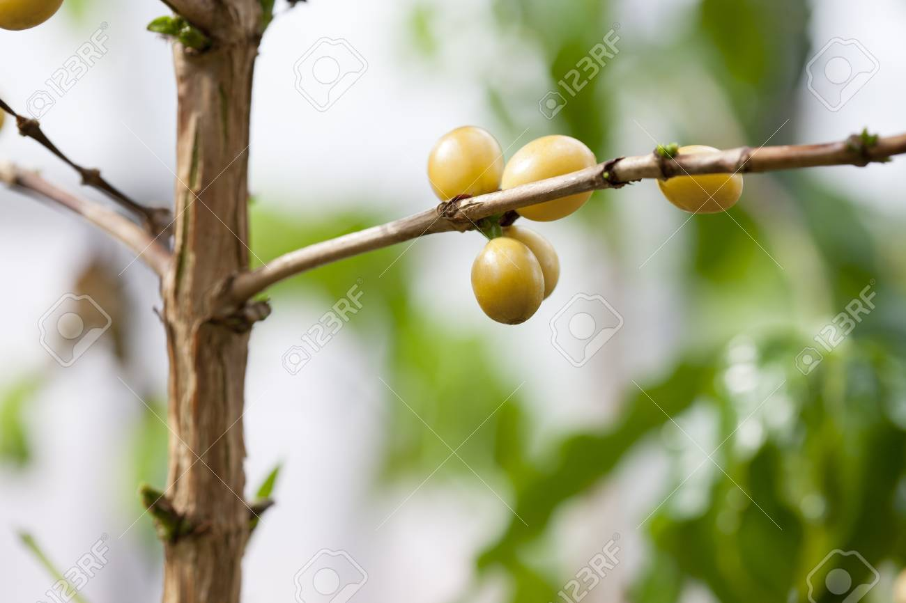 Coffee Tree, Indoor Stock Photo, Picture And Royalty Free Image ...