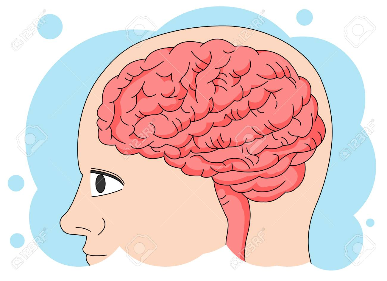 Human Anatomy: Brain Royalty Free Cliparts, Vectors, And Stock ...