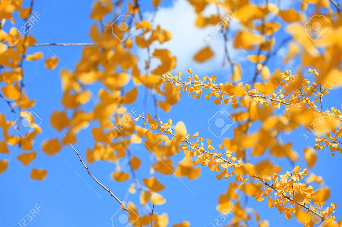 Close Up Shot Of Ginkgo Trees With Yellow Leaves