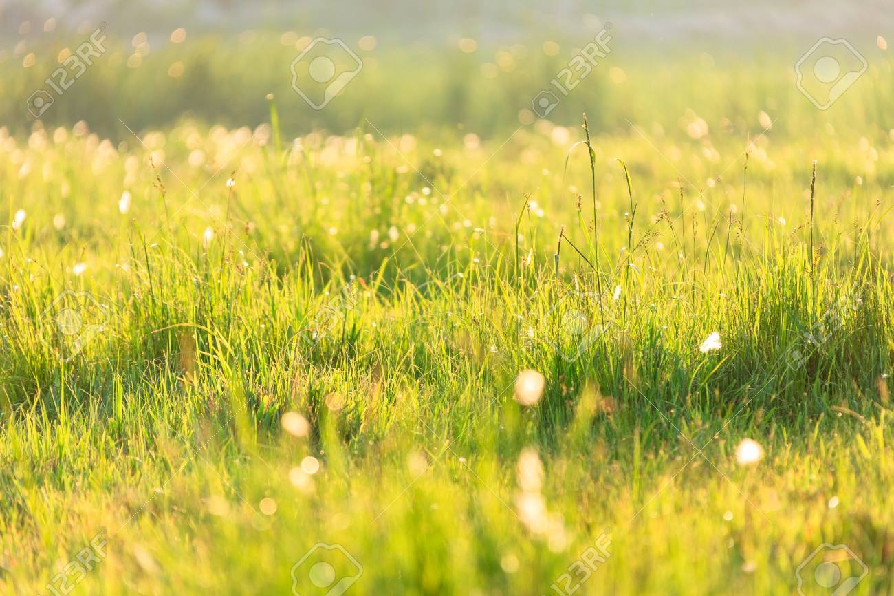 grass field sunset. Close Up Shot Of Glowing Grass Field At Sunset Stock Photo - 84885183 M