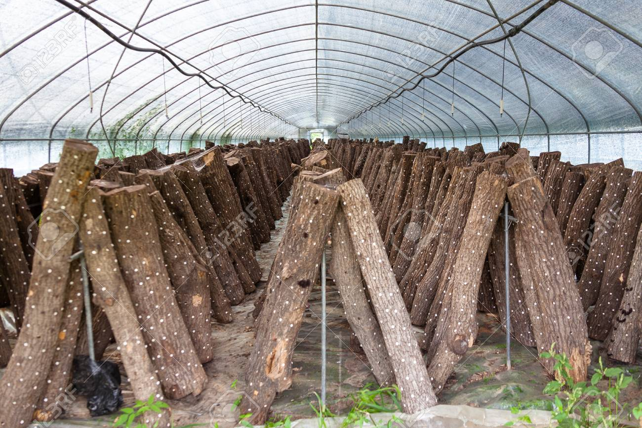 Greenhouse of mushroom farm with logs