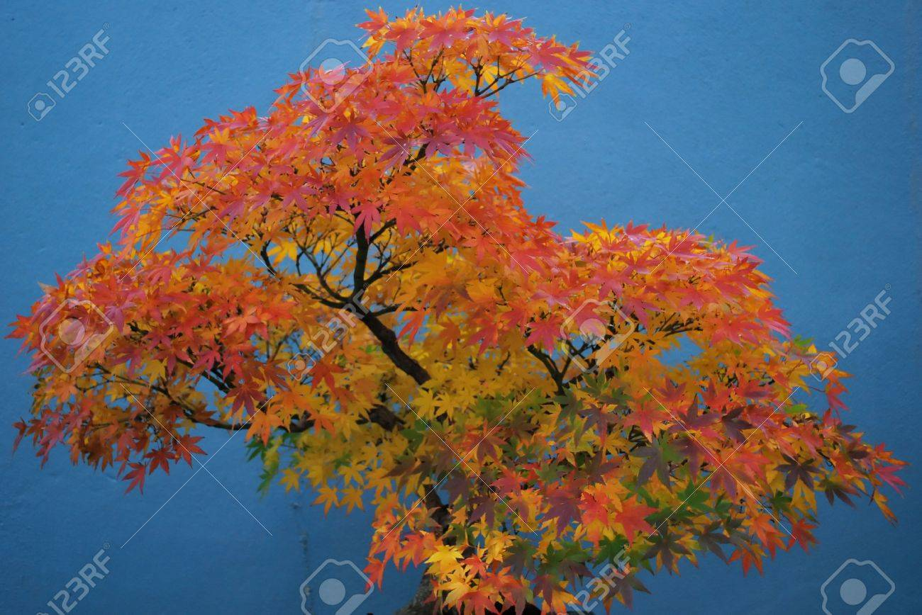 Ancient Japanese Red Maple Bonsai Tree Stock Photo Picture And Royalty Free Image Image 3833143
