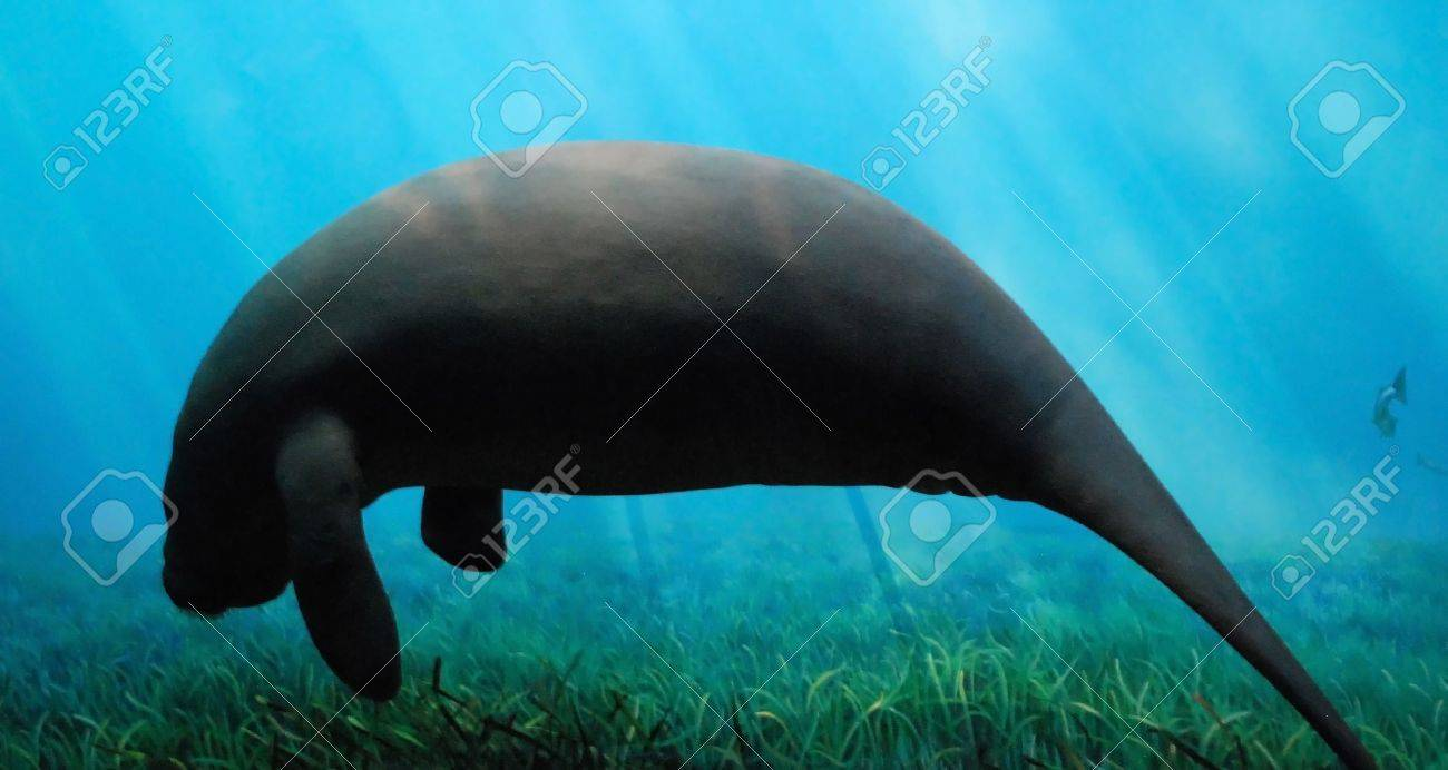 Silhouette View of Enormous Manatee Swimming Underwater Stock Photo - 4207480