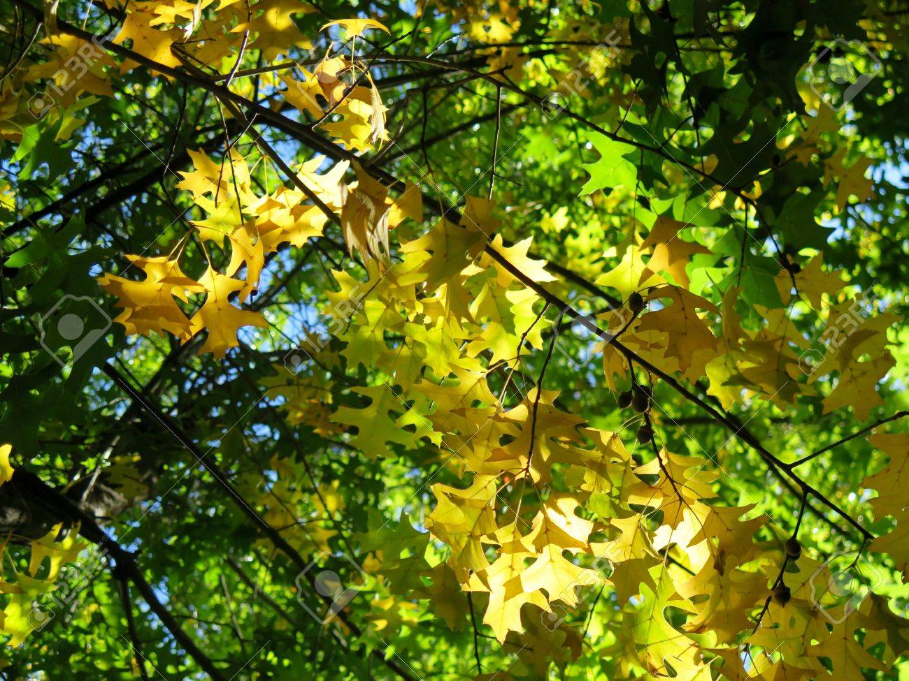 Changing Colors Of Autumn Leaves In Oak Trees Stock Photo, Picture ...