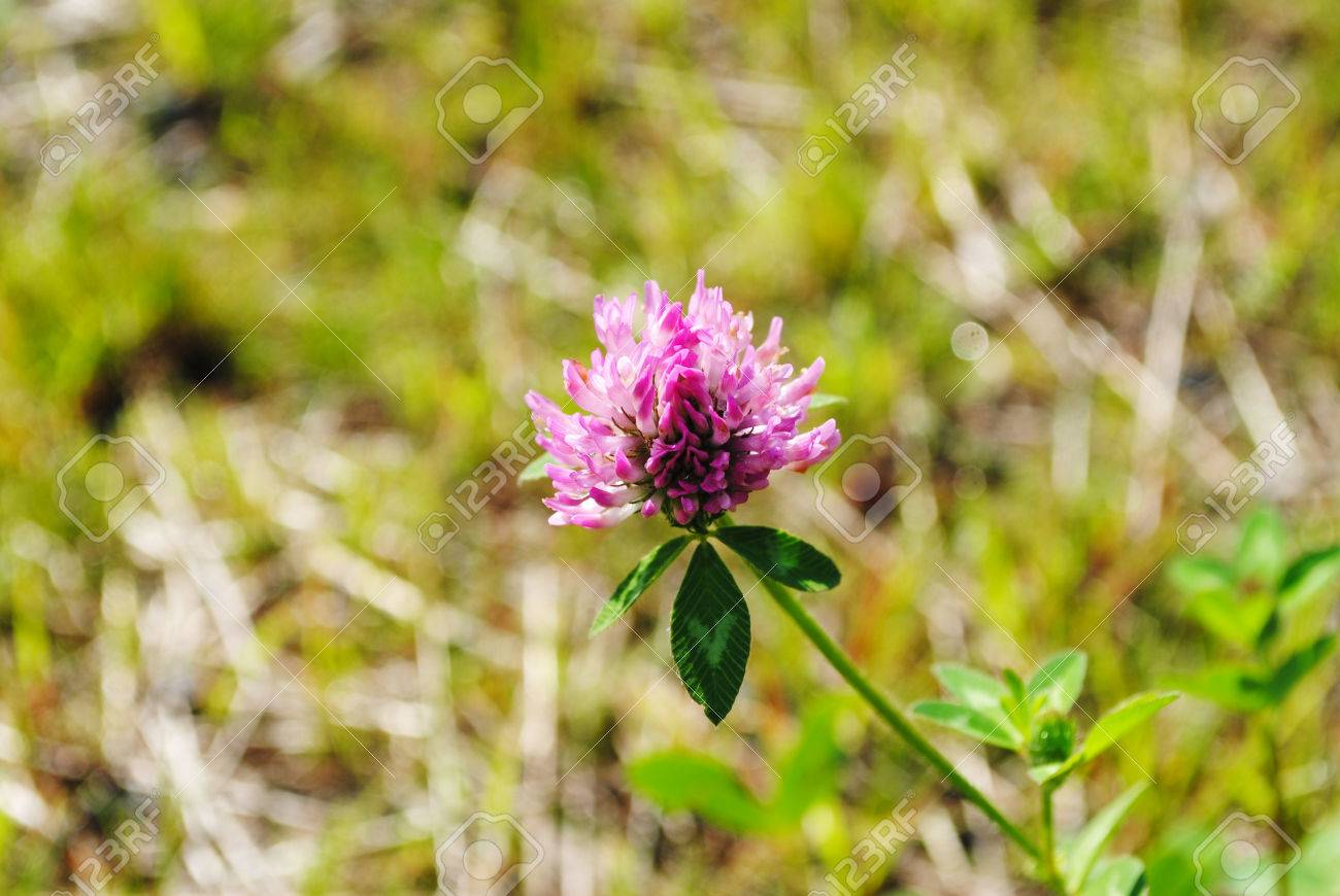 Wild Pink Clover Flower Growing In A Field Stock Photo Picture And