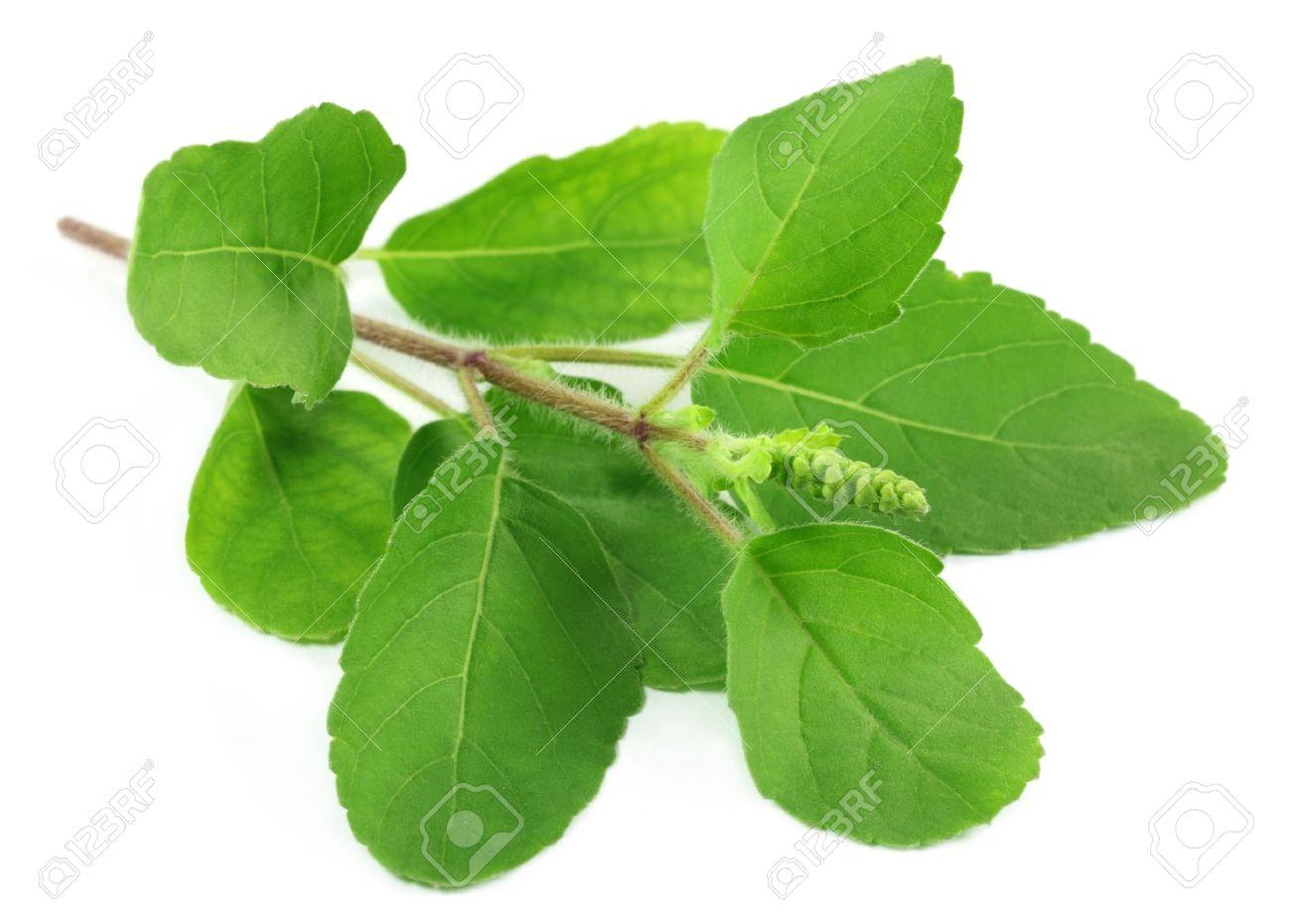 Tulsi Medicinal Plant Medicinal Holy Basil or Tulsi