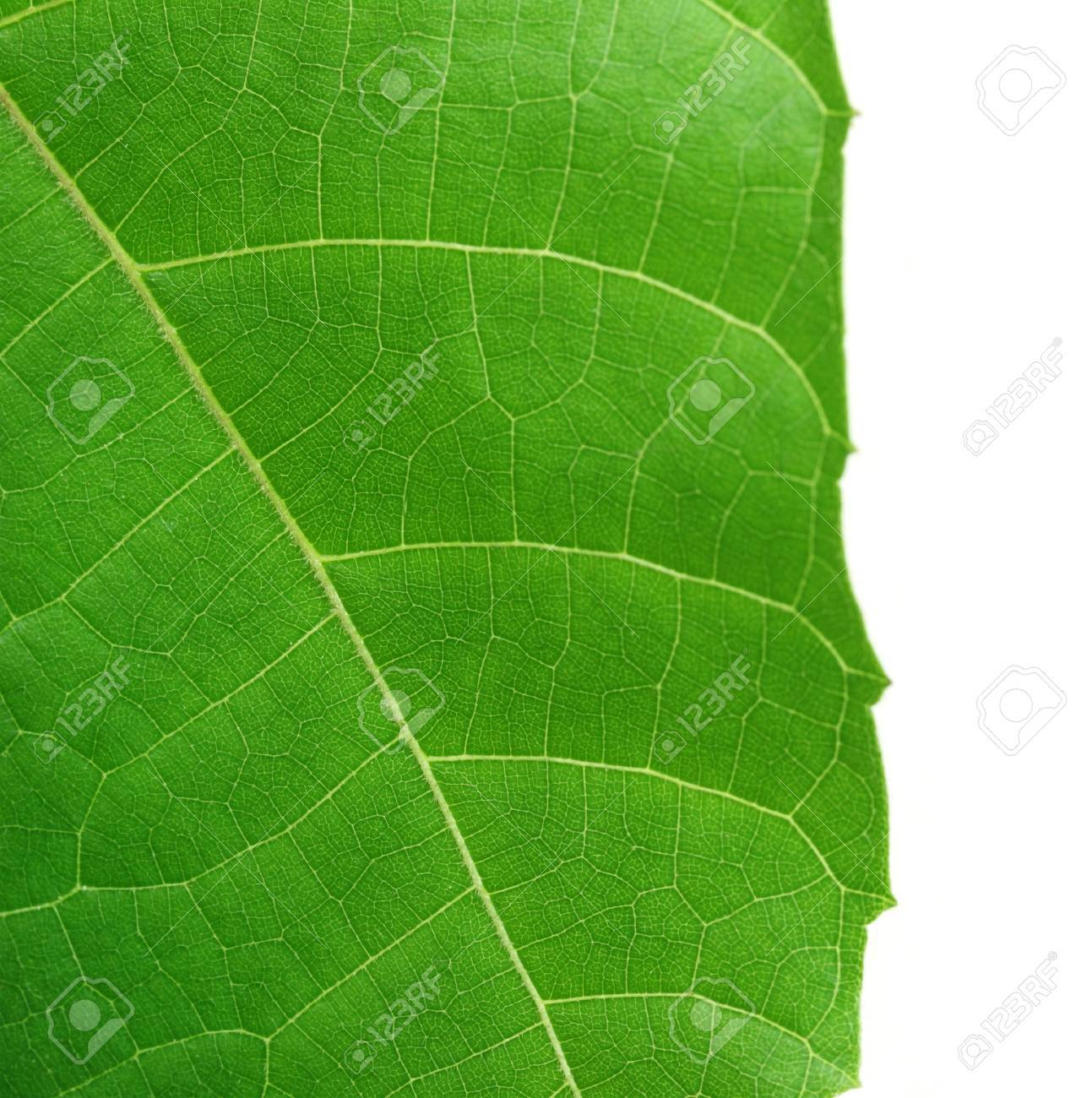 Decorative Leaf Of Abroma Augusta Or Medicinal Olatkambal Of Stock