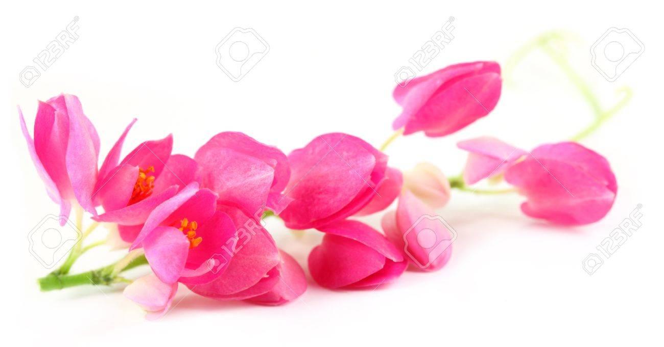 Antigonon leptopus or Pink coral vine over white background Stock Photo - 15777922